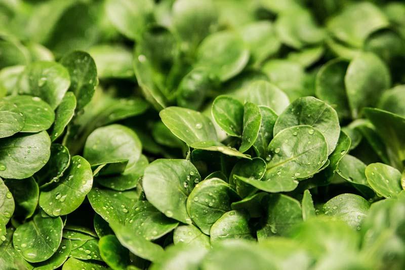 Salat düngen