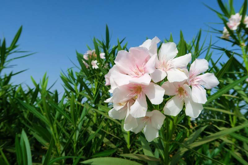 Oleander düngen