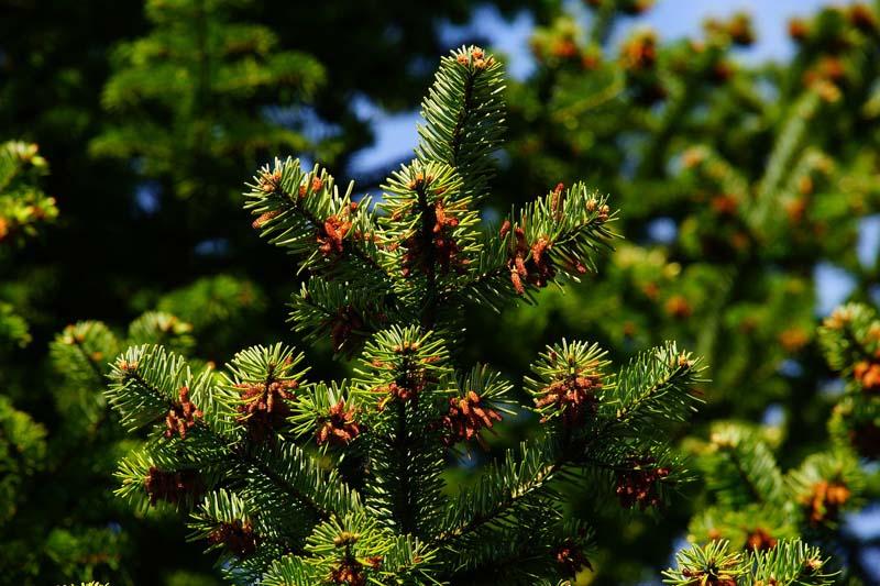 Dünger für Nadelbäume